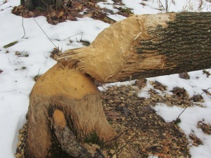 Fresh beaver handiwork by the side of Noisy River.