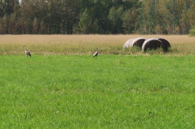 Limies sandhill cranes2