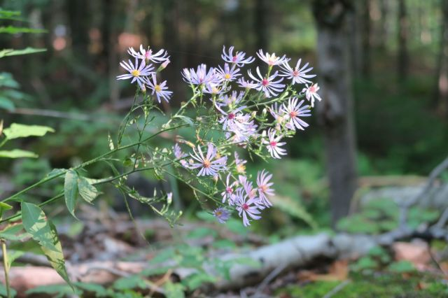 Limies - wild asters