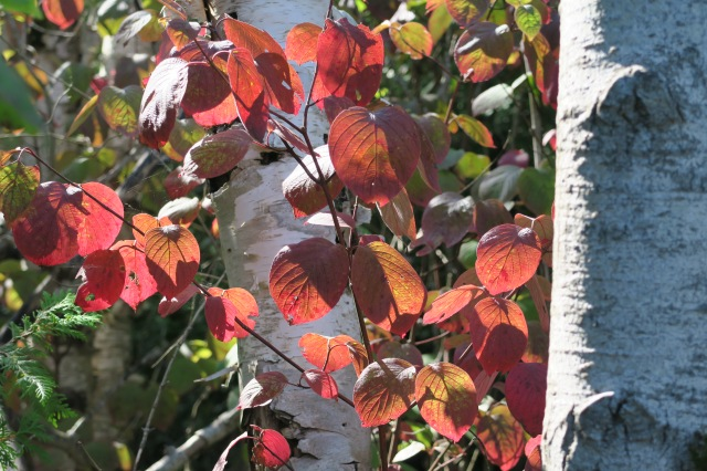 2017-09-16 14.59.47.red leaves.against birch